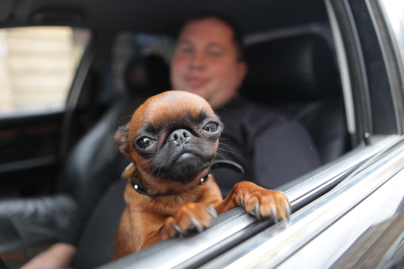 dog-in-car